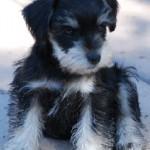 past-puppy-10