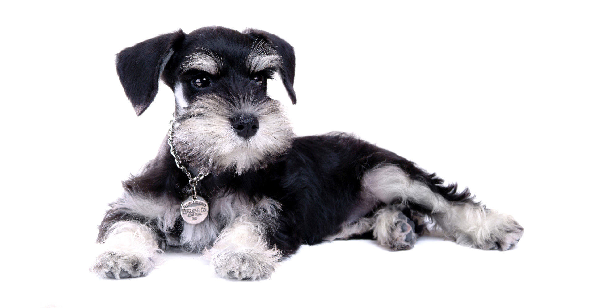 Schnauzer adoption dallas
