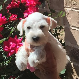 Mini Schnauzer ~ White ~ GBWW1AM1A0228
