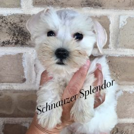 Small Mini Schnauzer ~ White